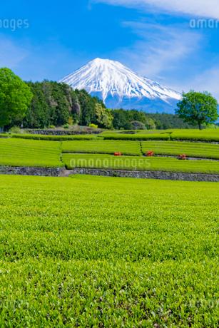静岡県富士市大淵笹場の茶畑の写真素材 [FYI03400308]