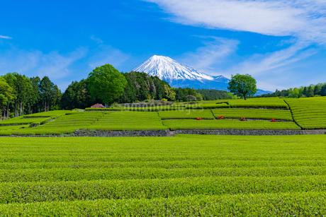 静岡県富士市大淵笹場の茶畑の写真素材 [FYI03400309]