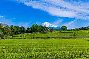 静岡県富士市大淵笹場の茶畑の写真素材 [FYI03400310]