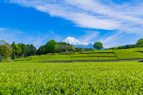 静岡県富士市大淵笹場の茶畑の写真素材 [FYI03400311]