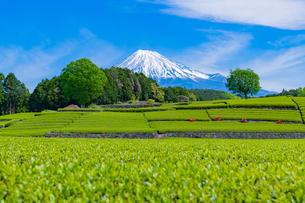 静岡県富士市大淵笹場の茶畑の写真素材 [FYI03400312]