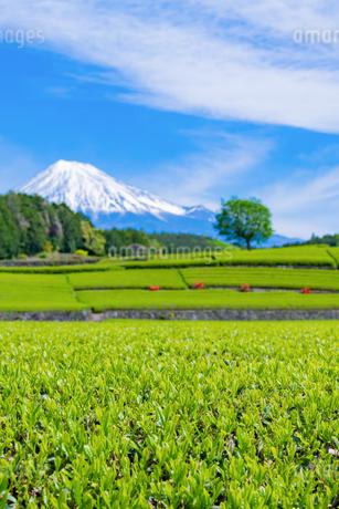 静岡県富士市大淵笹場の茶畑の写真素材 [FYI03400313]