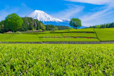 静岡県富士市大淵笹場の茶畑の写真素材 [FYI03400314]