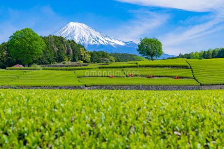 静岡県富士市大淵笹場の茶畑の写真素材 [FYI03400315]