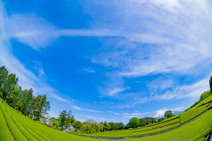 静岡県富士市大淵笹場の茶畑の写真素材 [FYI03400316]