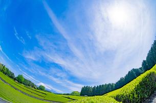 静岡県富士市大淵笹場の茶畑の写真素材 [FYI03400317]