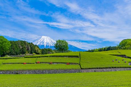 静岡県富士市大淵笹場の茶畑の写真素材 [FYI03400324]