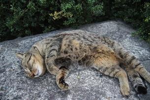 猫の写真素材 [FYI03400477]