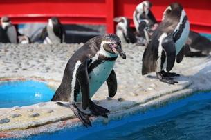 ペンギンの写真素材 [FYI03400486]