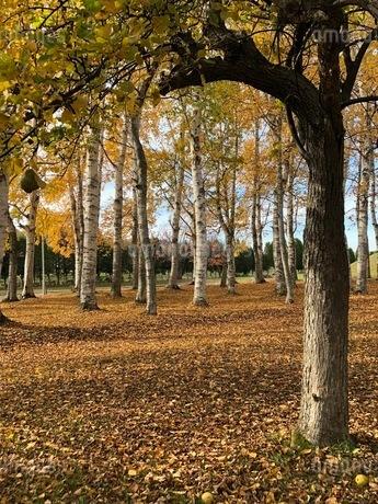 白樺並木とイチョウの落葉の写真素材 [FYI03400708]