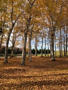 白樺並木とイチョウの絨毯の写真素材 [FYI03400710]