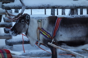 雪道でソリに繋がれたトナカイの写真素材 [FYI03400735]