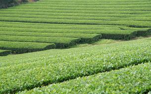 茶畑の写真素材 [FYI03400769]