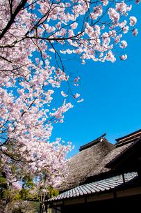 高遠町茅葺屋根と満開のサクラの写真素材 [FYI03400828]