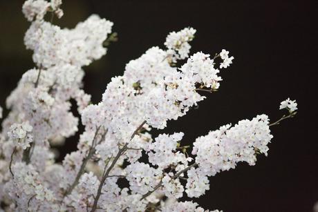 夜桜の写真素材 [FYI03401196]