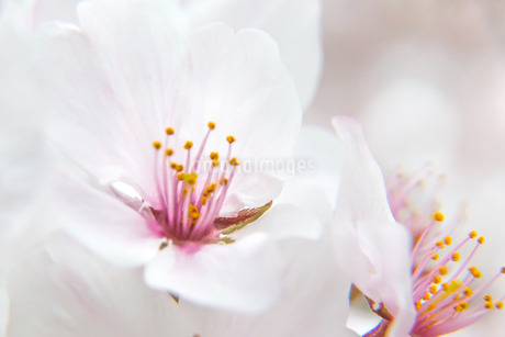 桜の写真素材 [FYI03401197]