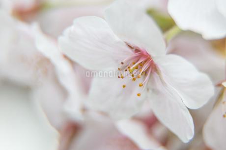 桜の写真素材 [FYI03401198]