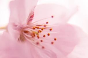 桜の写真素材 [FYI03401201]