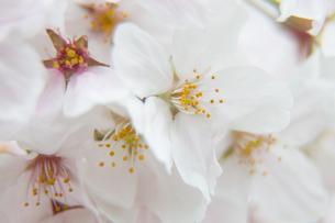 桜の写真素材 [FYI03401203]