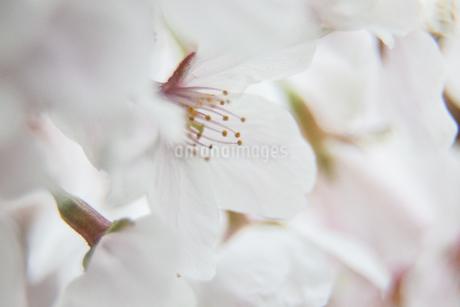 桜の写真素材 [FYI03401204]