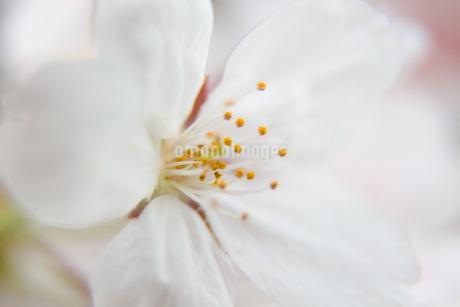 桜の写真素材 [FYI03401208]