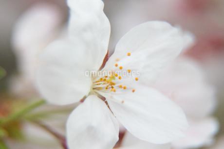 桜の写真素材 [FYI03401210]