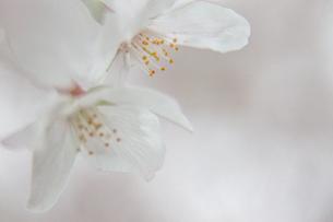 桜の写真素材 [FYI03401216]