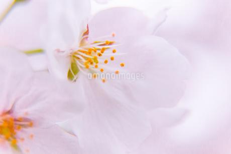 桜の写真素材 [FYI03401217]