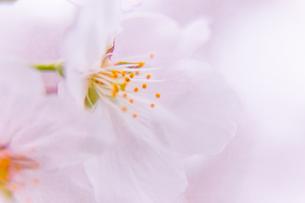 桜の写真素材 [FYI03401218]