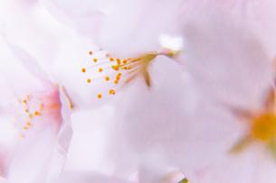 桜の写真素材 [FYI03401219]