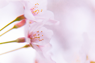 桜の写真素材 [FYI03401222]