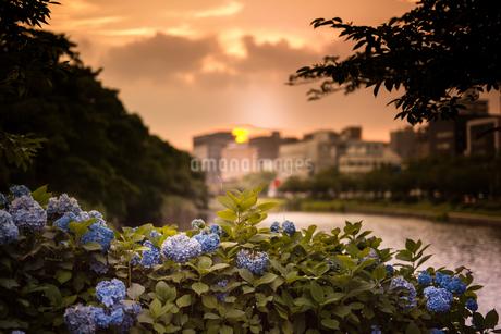 紫陽花の写真素材 [FYI03401245]