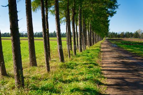 エゾマツの並木道の写真素材 [FYI03401299]