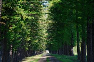エゾマツの並木道の写真素材 [FYI03401302]