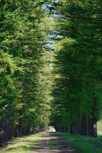 エゾマツの並木道の写真素材 [FYI03401303]