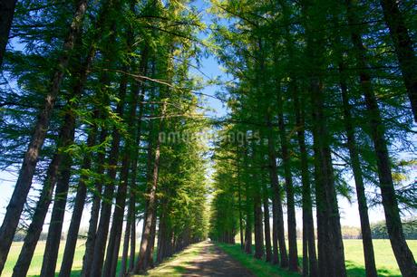 エゾマツの並木道の写真素材 [FYI03401304]