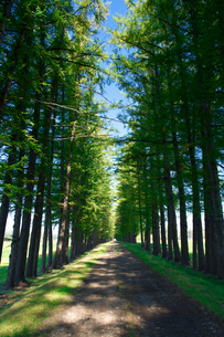 エゾマツの並木道の写真素材 [FYI03401305]