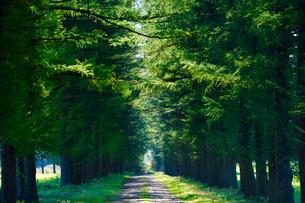 エゾマツの並木道の写真素材 [FYI03401307]