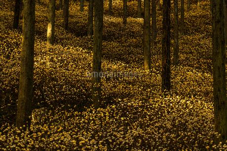 ミツマタの森 野倉の里 日本 大分県 玖珠郡の写真素材 [FYI03401544]