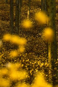 ミツマタの森 野倉の里 日本 大分県 玖珠郡の写真素材 [FYI03401545]