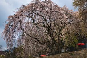 枝垂れ桜 妙法寺 日本 福岡県 うきは市の写真素材 [FYI03401549]