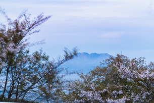 桜島と桜 須々原展望台 日本 鹿児島県 鹿児島市の写真素材 [FYI03401557]