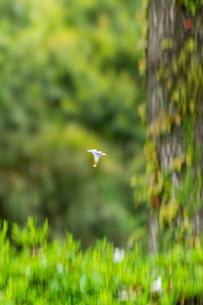 桐の花の写真素材 [FYI03401579]