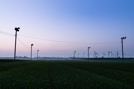 朝の茶畑 日本 鹿児島県 霧島市 溝辺町麓の写真素材 [FYI03401585]