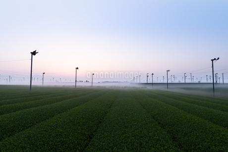 朝の茶畑 日本 鹿児島県 霧島市 溝辺町麓の写真素材 [FYI03401586]