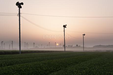 朝の茶畑 日本 鹿児島県 霧島市 溝辺町麓の写真素材 [FYI03401587]