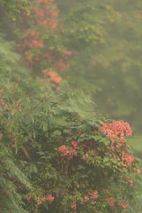 ツツジ 和気神社 日本 鹿児島県 霧島市の写真素材 [FYI03401588]