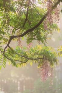 藤 和気神社 日本 鹿児島県 霧島市の写真素材 [FYI03401589]