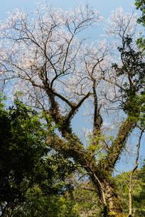 エドヒガン桜 日本 鹿児島県 伊佐市 奥十曽の写真素材 [FYI03401598]