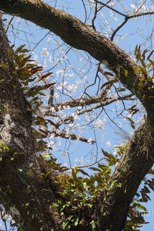 エドヒガン桜 日本 鹿児島県 伊佐市 奥十曽の写真素材 [FYI03401600]